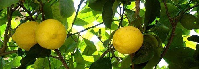 limonero Limonero Limonero el limonero