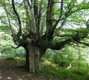 haya árbol Haya Haya haya