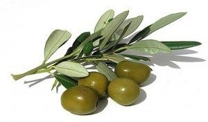 hoja-de-olivo Olivo Olivo hoja de olivo