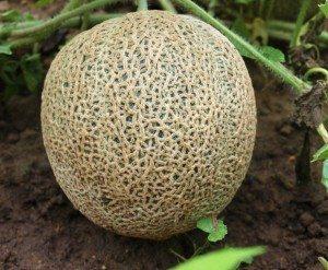 melon planta Melón Melón melon planta