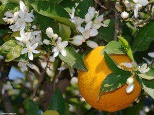 naranjo árbol Naranjo Naranjo naranjo