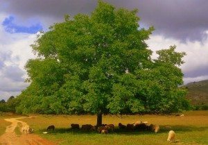 nogal árbol Nogal Nogal nogal