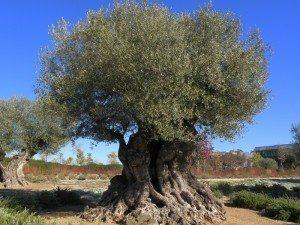 olivo árbol Olivo Olivo olivo