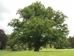 roble árbol Roble Roble roble