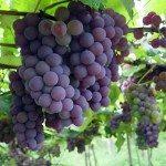 Viña o planta de la uva
