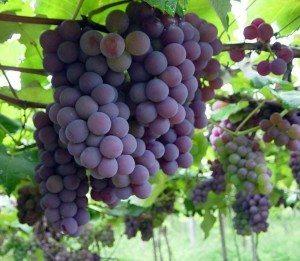uva Viña o planta de la uva Viña o planta de la uva uva