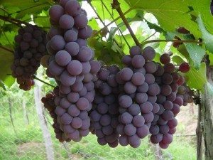 uva Viña o planta de la uva Viña o planta de la uva uva1