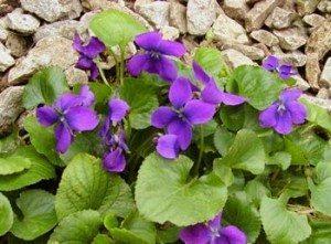 violeta planta Violeta Violeta violeta