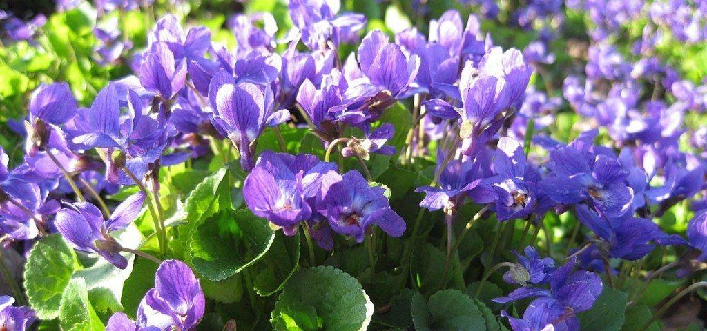 violeta planta Violeta Violeta violeta1