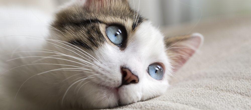 gatos psicologia La inteligencia y psicología en los felinos La inteligencia y psicología en los felinos gatos psicologia