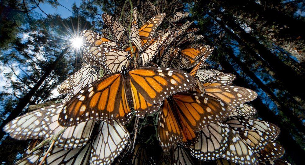 Viajar Santuario de la Mariposa Los Santuario de la mariposa Monarca en México Los Santuario de la mariposa Monarca en México MariposaMonarca