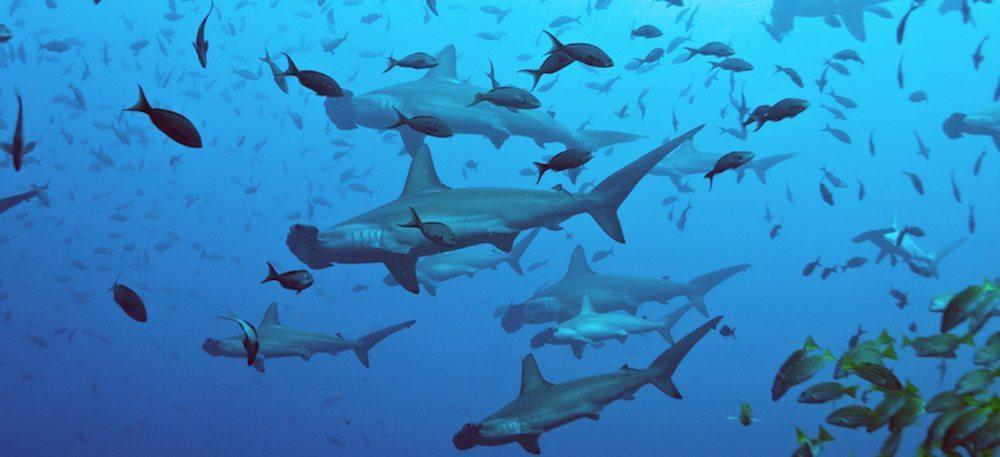 isla del coco tiburones La Isla del Coco La Isla del Coco isla del coco tiburones
