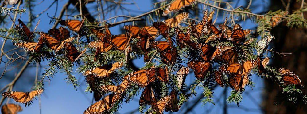 Viajar MARIPOSAS MONARCAS Los Santuario de la mariposa Monarca en México Los Santuario de la mariposa Monarca en México mariposa monarca1