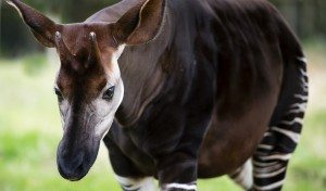 Okapi La Selva de Ituri La Selva de Ituri okapi