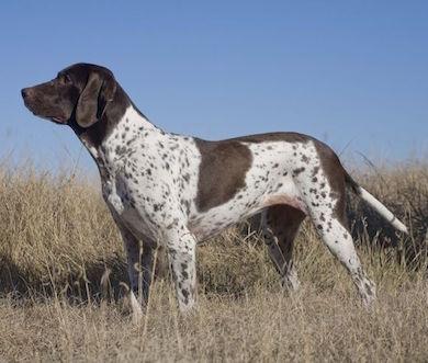 Antiguo perro de muestra Danés Antiguo perro de muestra Danés Antiguo perro de muestra Danés Antiguo perro de muestra Dan  s
