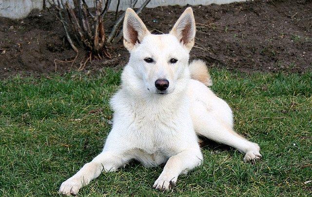 Canaan-perro Perro de Canaán Perro de Canaán Canaan perro