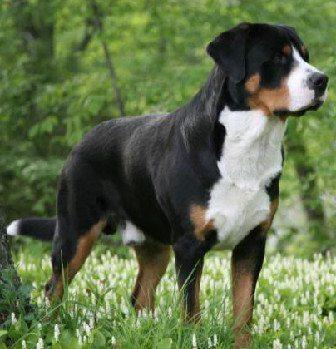 Gran Perro de Montaña Suizo Perro de Montaña Gran Suizo Perro de Montaña Gran Suizo Gran Perro de Monta  a Suizo
