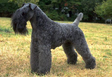 Kerry Blue Terrier Kerry Blue Terrier Kerry Blue Terrier Kerry Blue Terrier 2