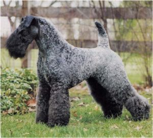 Kerry Blue Terrier3 Kerry Blue Terrier Kerry Blue Terrier Kerry Blue Terrier3 1
