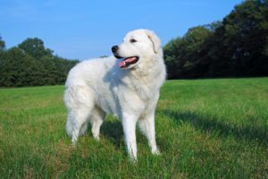 Kuvasz -Canis lupus familiaris-, male, livestock guardian dog Kuvasz Kuvasz Kuvasz2