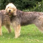 Otterhound