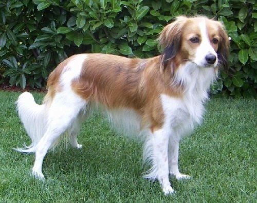 Pequeño perro holandés para la caza acuática Kooikerhondje - Pequeño Perro Holandés Kooikerhondje - Pequeño Perro Holandés Peque  o perro holand  s para la caza acu  tica