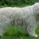 Perro Pastor de Rusia Meridional