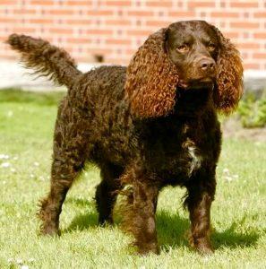 Perro de Agua Americano1 Perro de Agua Americano Perro de Agua Americano Perro de Agua Americano1