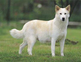 Perro de Canaan1 Perro de Canaán Perro de Canaán Perro de Canaan1