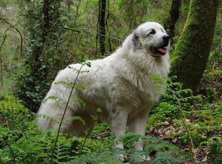Perro de Montana de los Pirineos Perro de Montaña de los Pirineos Perro de Montaña de los Pirineos Perro de Montana de los Pirineos 1