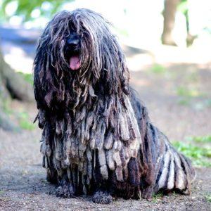Perro de pastor bergamasco2 Perro de Pastor Bergamasco Perro de Pastor Bergamasco Perro de pastor bergamasco2 1