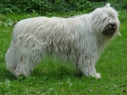 Perro de pastor de Rusia Meridional1 Perro Pastor de Rusia Meridional Perro Pastor de Rusia Meridional Perro de pastor de Rusia Meridional1