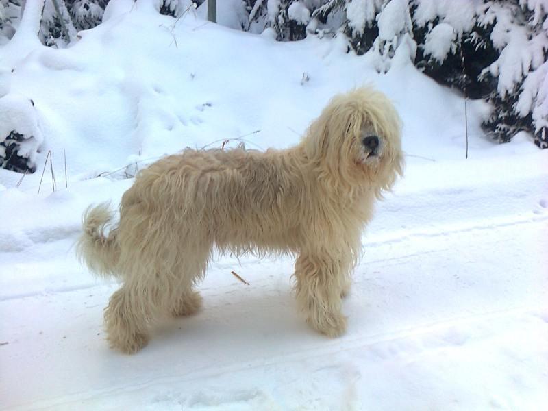 Perro de pastor de Rusia Meridional2 Perro Pastor de Rusia Meridional Perro Pastor de Rusia Meridional Perro de pastor de Rusia Meridional2 1