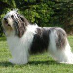 Perro de pastor polaco de las llanuras