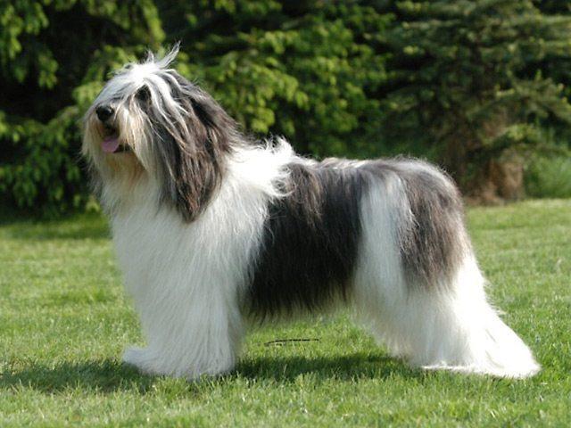 Perro de pastor polaco de las Llanuras1 Perro de pastor polaco de las llanuras Perro de pastor polaco de las llanuras Perro de pastor polaco de las Llanuras1