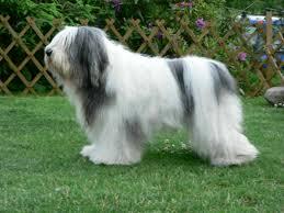 Perro de pastor polaco de las Llanuras2 Perro de pastor polaco de las llanuras Perro de pastor polaco de las llanuras Perro de pastor polaco de las Llanuras2