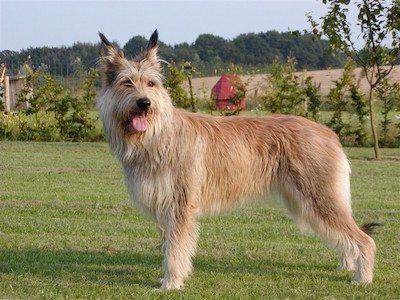 berger perro Berger de Picardie Berger de Picardie Racine 31