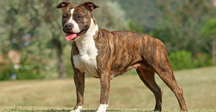 american staffordshire terrier-725x375 American Staffordshire American Staffordshire americanstaffordshireterrier