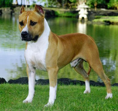 american staffordshire terrier American Staffordshire American Staffordshire americanstaffordshireterrier
