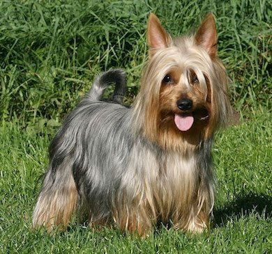 silky terrier perro Australian Silky Terrier Australian Silky Terrier australian silky terrier3