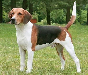 beagle-harrier-perros-de-caza Beagle Harrier Beagle Harrier beagle harrier perros de caza