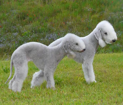 bedlington terrier Bedlington Terrier Bedlington Terrier bedlington terrier 2