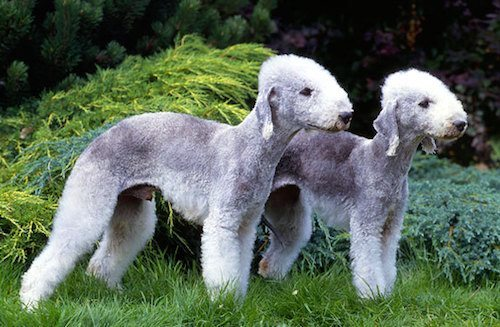 bedlington terrier Bedlington Terrier Bedlington Terrier bedlington terrier
