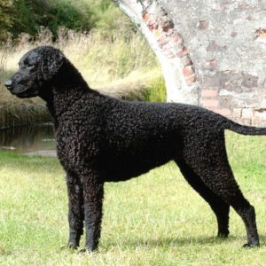 curlycoated1 Curly Coated Retriever Curly Coated Retriever curlycoated1