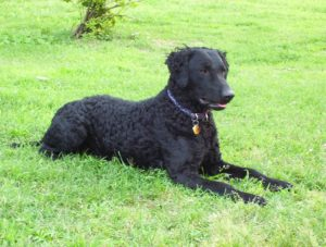 curlycoated2 Curly Coated Retriever Curly Coated Retriever curlycoated2