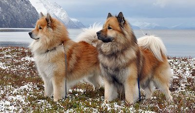 eurasier perro Eurasier Eurasier eurasier