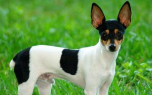 fox-terrier-toy Fox Terrier Toy Fox Terrier Toy fox terrier toy 1