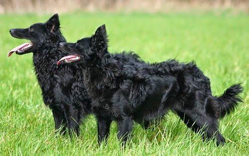 mudi perro Mudi Mudi mudi pareja