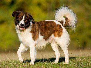 perrodemontañadelatlas2 Perro de Montaña del Atlas Perro de Montaña del Atlas perrodemonta  adelatlas2