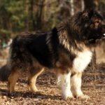 Perro de Pastor del Cáucaso